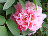 这还是传说中的国花
