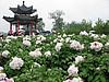菏泽牡丹-白色系